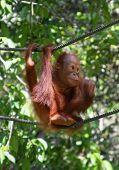 baby orangutan, in sarawak ( borneo )