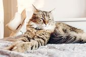 Beautiful  Maine Coon Cat Sleeping On Soft Bed In Sunny Evening Light. Tabby Fluffy Cat With Funny E poster