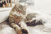 Beautiful Tabby Cat Lying On Bed And Seriously Looking With Green Eyes In Soft Morning Light. Fluffy poster