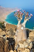 Bottle tree - adenium obesum - endemic tree of Socotra Island with turquoise sea water background at