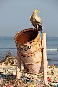 Schmutzgeier auf Mülleimer (Strand der Insel Soctra in der Hadibo Stadt)