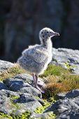 Glaucous Gull (Larus hyperboreus) nestling, Russian Arctic, Franz Josef Land