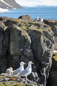 Seagull - Glaucous Gull (Larus hyperboreus), with nestling on a rock on a background of the blue sea