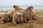 Walrus family haul out