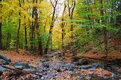 Autumn woods with yellow maple trees and creek with rocks and foliage in mountain.