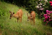 Two Black-Tailed Deer On Grass