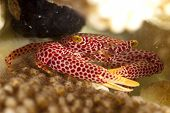 Red-spotted Guard Crab