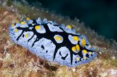 Black-rayed Phyllidia Nudibranch