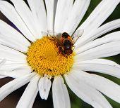 Bee on a Daisy