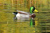 Adulto masculino Mallard Duck, Anas platyrhynchos