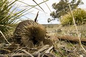 stock photo of ant-eater  - A beautiful detailed portrait of an Australian Echidna shown here in its natural grassy environment - JPG