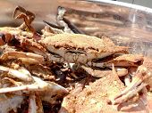 Crab - Cooked Blue Crabs In Pot 08 3 poster