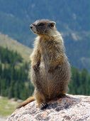 Profile Of A Marmot