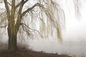 stock photo of weeping willow tree  - Weeping willow tree with yellow branches in early spring overhangs a misty lake - JPG