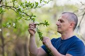 Agronomist Checking Cherry Tree Flowers