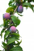 foto of seed bearing  - Plum tree branch with ripe fruits on white  - JPG