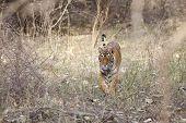 The stalking tigress