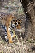 picture of tigress  - The stalking tigress in Ranthambore National Park in Rajasthan, India