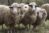 Chipped Sheep