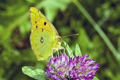 Butterfly Cloudless Sulphur On Flower