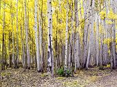 stock photo of colorado high country  - Stand of Colorado aspens in Fall season - JPG