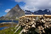 Drying Of Stockfish On Lofoten
