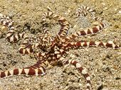 Mimic Octopus.