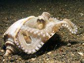 Coconut Octopus.