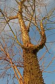 prickle tree