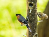 Bullfinch : Pyrrhula , On A Bird Feeder