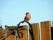 Bullfinch,pyrrhula Pyrrhula