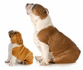 two dogs looking up - two english bulldogs sitting side profile looking upwards isolated on white ba