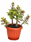houseplant crassula or monetary tree
