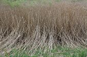 Thicket Of Phragmites Near The Mire