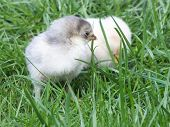 small newly hatched chickens chicks with her mother