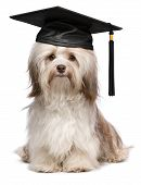 stock photo of eminent  - Beautiful proud graduation chocolate havanese dog with black cap isolated on white background - JPG