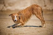 Dirty Border Collie Dog