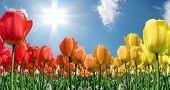 Flame Tulips2
