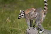 Lemur Carrying Baby