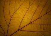 stock photo of transpiration  - detail of a yellow autumn leaf in backlight - JPG