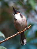 picture of bulbul  - Red whiskered Bulbul resting on a branch - JPG