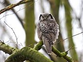 picture of hawk  - Northern Hawk Owl resting in a tree - JPG