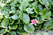 stock photo of lillies  - Beautiful flowers in lilly pads on a pond - JPG