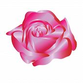 bright satin rose -vector illustration