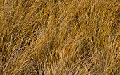 foto of dune grass  - Tussock grass is a hardy growing plant that grow along New Zealand beaches sand dunes and also found in deserts too - JPG
