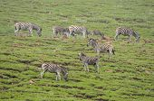 Zebras In The Golden Gate Highlands National Park