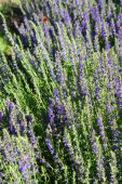 stock photo of hyssop  - Hyssop plant in the garden - JPG