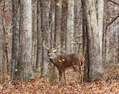stock photo of  bucks  - a noble 8 point buck deer stands regally in the forest - JPG