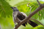 foto of babbler  - A Brown Babbler  - JPG