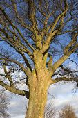 Sycamore Tree In Winter